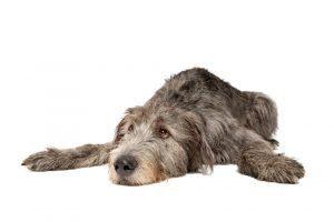 Irish Wolfhound lying down and cute