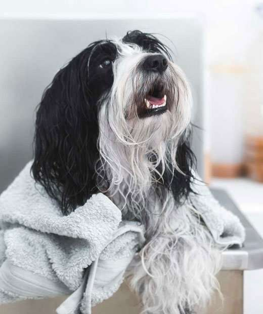 black and white cute dog with a towel looking happy