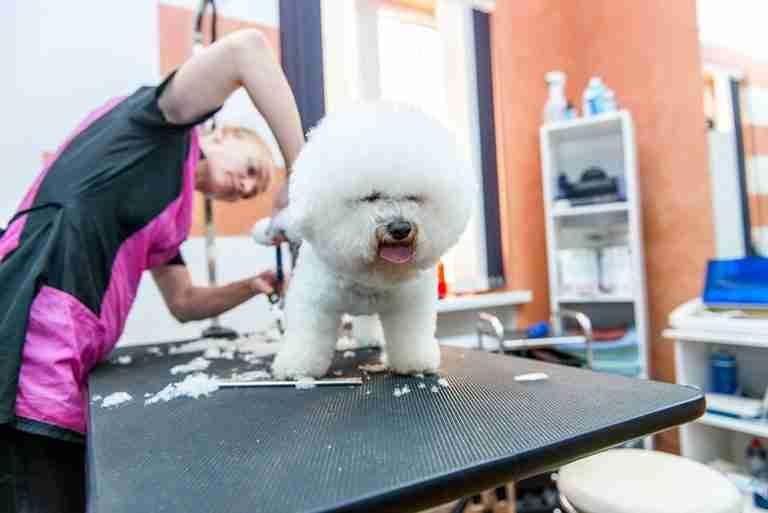 dog groomer grooming a bichon frise
