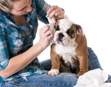 cleaning-dogs-ears