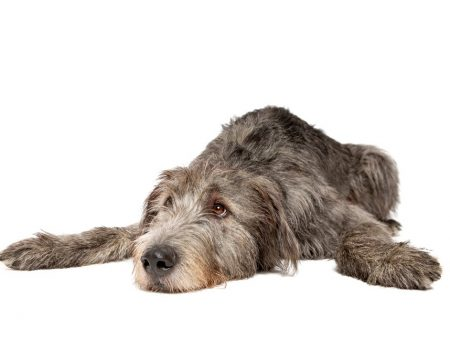 Irish,Wolfhound,In,Front,Of,A,White,Background